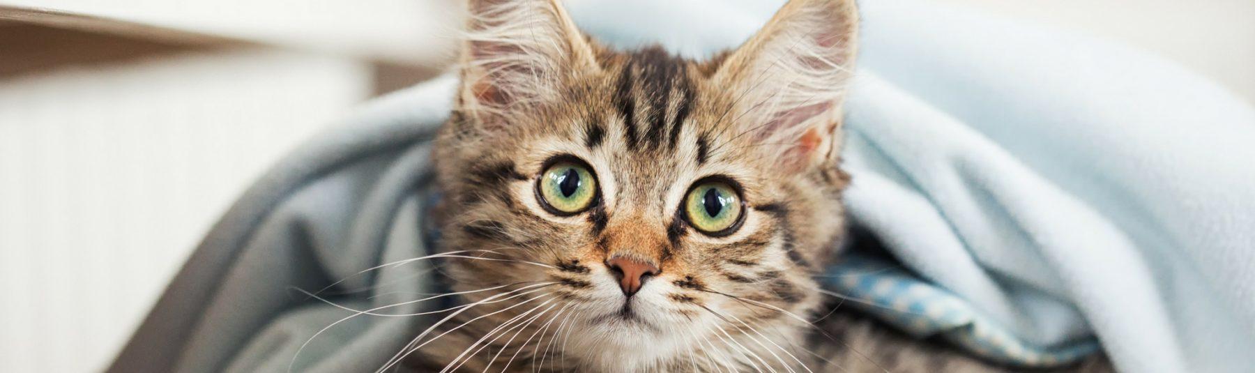 kitten-vaccine