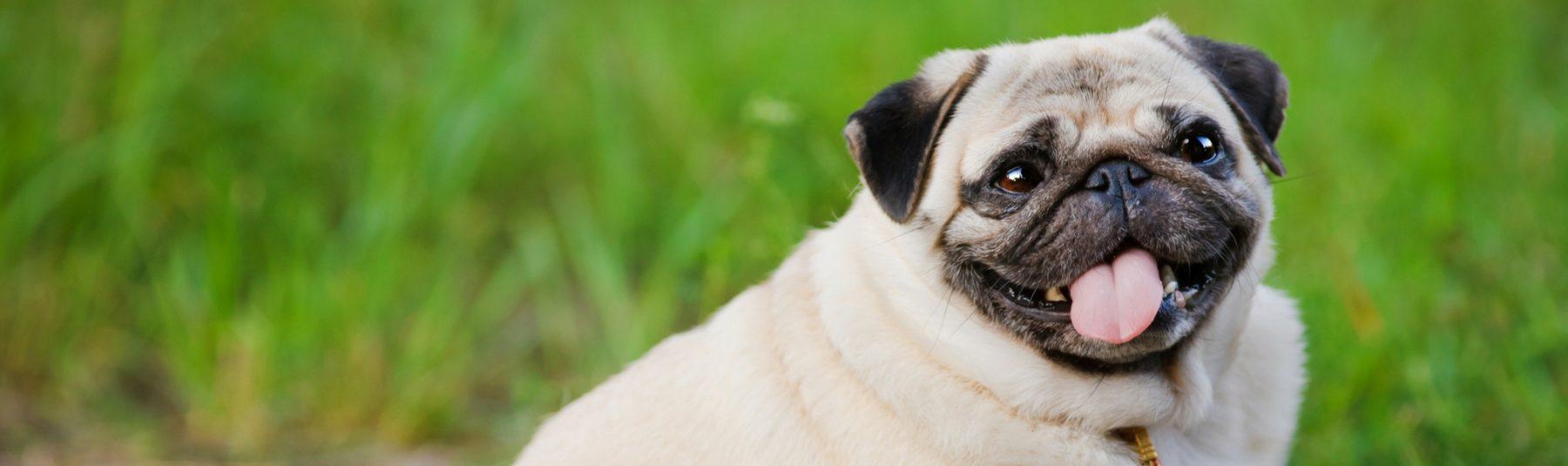 dog-overweight