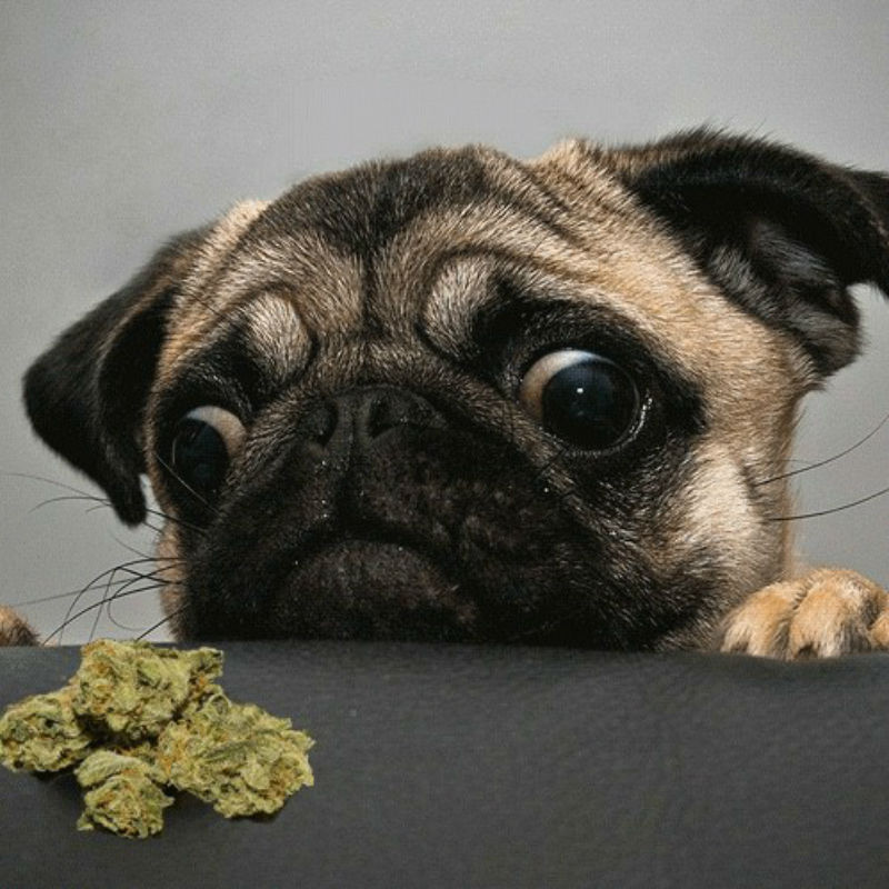 Marijuana and Its Effects in Pets